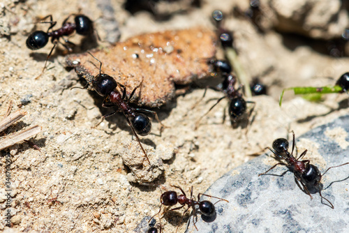 Ants by the anthill at work Canvas Print