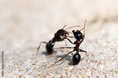 Photo Black ants fight. Warriors for survival