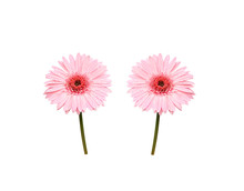 Pink Gerbera Or Barberton Daisy Blooming With Water Drops Isolated On White Background , Clipping Path