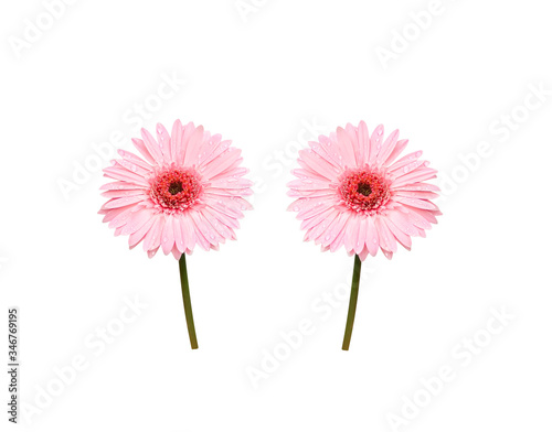 Pink gerbera or barberton daisy blooming with water drops isolated on white back Canvas Print