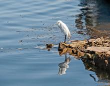 Little Egret Stood On Rock By ...