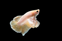 Gold Dumbo Siamese Betta Fish On Black Bach Ground Stock Photo. Fighting Fish, Betta Splendens.