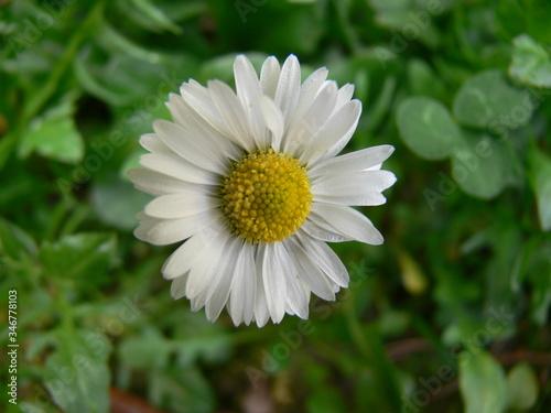 Carta da parati un primo piano di una colorata margherita in fiore in un giardino in primavera