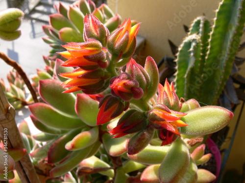 Stampa su Tela un primo piano di colorato e rigoglioso pachyphytum in fiore in un giardino in p