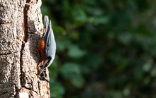Chestnut Bellied Nuthatch (Sit...
