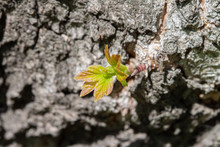 Small Fresh Branch With Leaves Growing Above Tree Bark Blooming