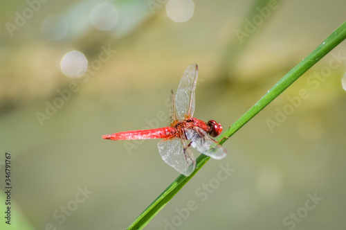 Scarlet dragonfly - Crocothemis erythraea is a species of dragonfly in the family Libellulidae Tapéta, Fotótapéta