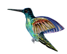 Cute Aquarelle Picture Of Hummingbird Isolated On The White Background