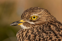 Spotted Thick Knee Bird Close Up Photos Of Eye And Head.