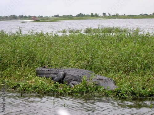 Photo Alligator In Wetland