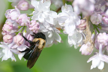 Eastern Carpenter Bee On Flowers