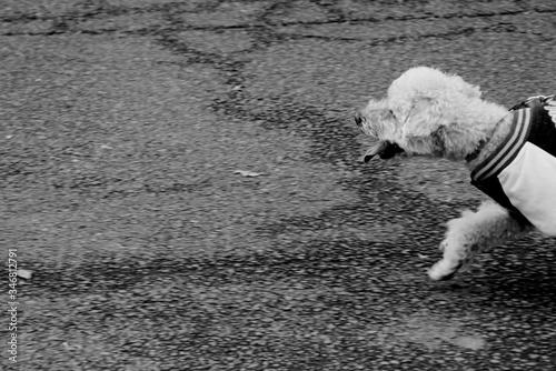 Tablou Canvas Dog Running On Street