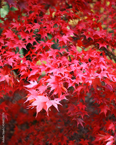 The red leaves of a Maple or Acer tree Wallpaper Mural