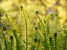 Young Green Fern In Forest.