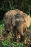 Fototapeta Zwierzęta - Słoń patrzy