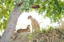 Cheetahs Relaxing On Tree