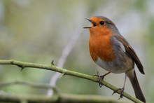 Close-up Of Robin Perching On ...