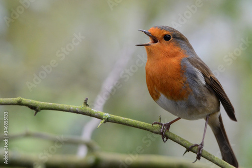 Close-up Of Robin Perching On Twig Wallpaper Mural