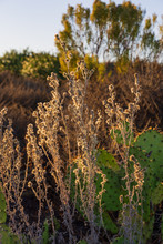 Autumn In The Desert With Prickly Pear Cactus And Grass