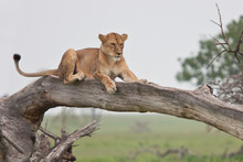 Portrait Of Old Lioness Rest A...