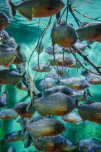 School Of Red-bellied Piranha ...
