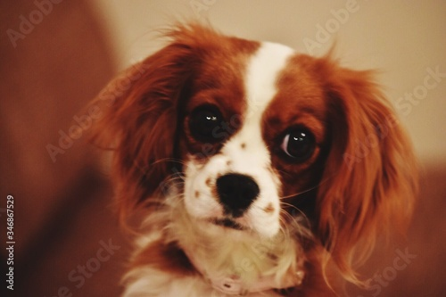 Wallpaper Mural Close-up Portrait Of Cavalier King Charles Spaniel Puppy On Sofa