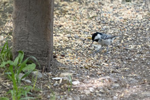 Coal Tit Eating Bird Seed Scattered On The Ground