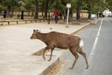 Shallow Focus Shot Of A Brown Deer Crossing The Road In Japan
