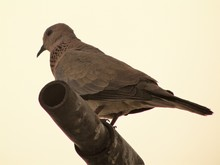 Low Angle View Of Mourning Dove On Pole Against Clear Sky
