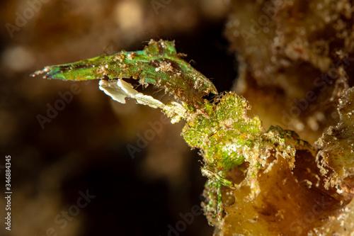 Photo green carapace imitator arrowhead crab