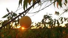 Low Angle View Of Fruit On Tree