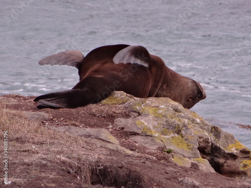 Fototapety, obrazy: Close-up Of Seal Sleeping On Rock By Sea