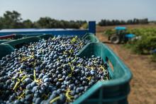 Dettaglio Dell'uva Appena Racc...
