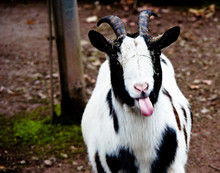 Portrait Of Goat Sticking Out ...