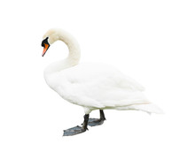 Swan, Isolated On White Backgr...