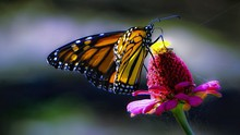 Close-up Of Butterfly Pollinat...