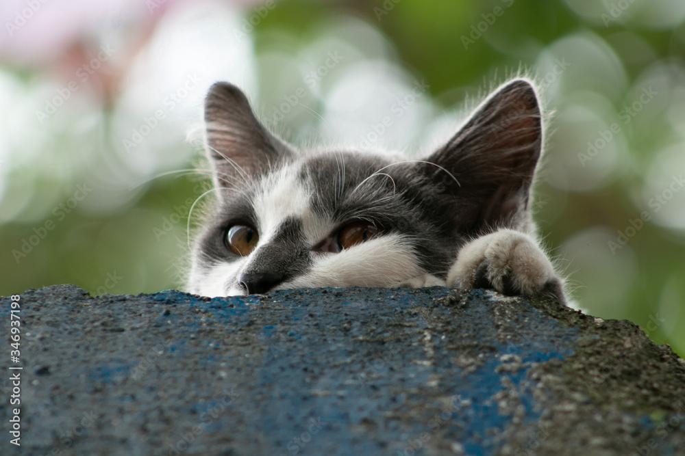 Fototapeta gato, felino, fofo, animal de estimação, bonito