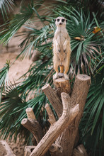Suricate In The Tree
