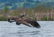 Canada Geese In Flight Over Wa...
