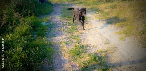 Slika na platnu Cane Corso Running On Dirt Road