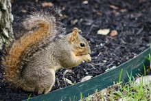 Backyard Fox Squirrel In Mulch...