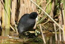 Close-up Of American Coot In L...