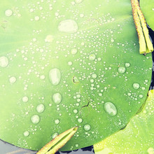 Close-up Of Water Drops On Lily Pads In Pond