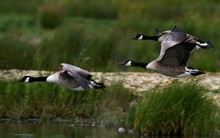 Canada Geese In Flight Over Lake