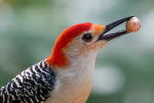 Red Bellied Woodpecker Eating A Peanut.