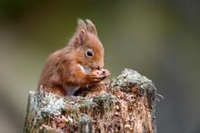 UK, Scotland, Portrait Of Red Squirrel (Sciurus Vulgaris) Feeding On Tree Stump