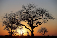 Silhouettes Of Bare Trees Against Setting Sun