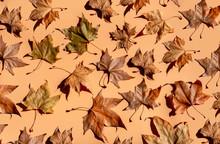 Studio Shot Of Dry Maple Leave...