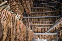 Rows Of Dried Tobacco Leaves, Valle De Vinales, Cuba