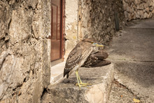 A Wounded Young Black Crowned Night Heron Standing In Front Of A Door In A Street In Cavtat, Dalmatia, Croatia. Brown Bird With A Broken Wing In A Typical Old Croatian Street